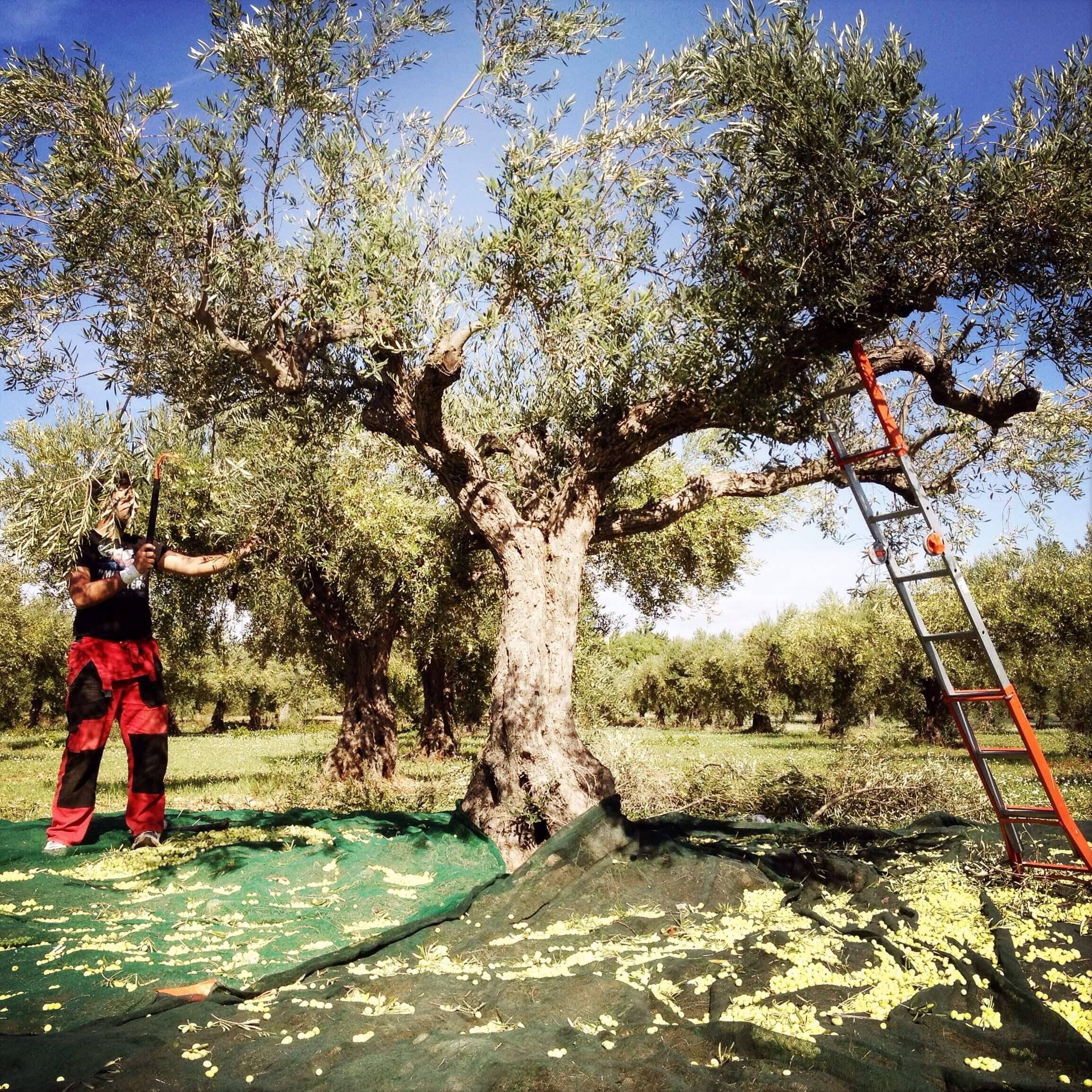 beskæring-æbletræ