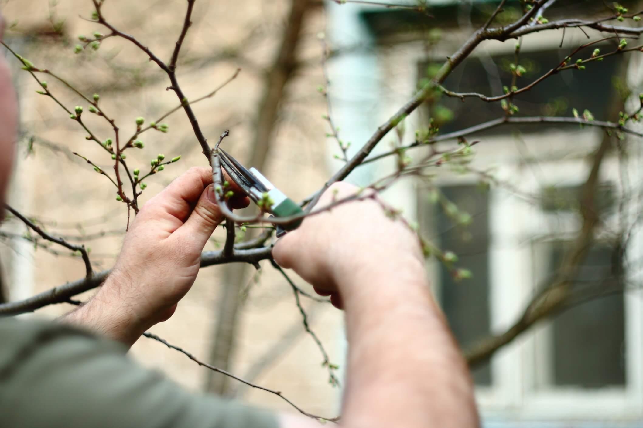 beskæring-birketræ